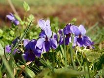 在草甸的狂放的紫罗兰色中提琴 库存照片