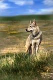 在草甸的狼 库存照片
