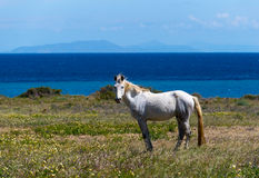 在草甸的白马反对蓝色海 圣托里尼, Greec 免版税库存照片