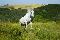 在草甸的白马 免版税库存图片