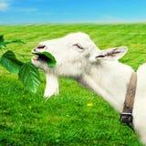 在草甸的空白山羊 图库摄影