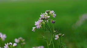 在草甸的精美紫色花 库存图片