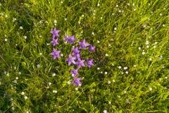 在草甸的紫色风铃草 免版税图库摄影