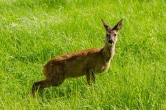 在草甸的红色母鹿 免版税库存图片