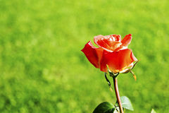 在草甸的红色玫瑰 库存照片
