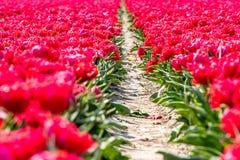 在草甸的红色郁金香在弗莱福兰省 免版税库存照片