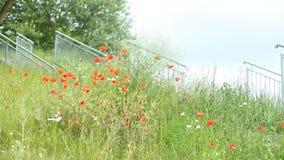在草甸的红色鸦片花
