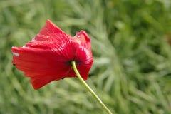在草甸的红色鸦片 库存图片
