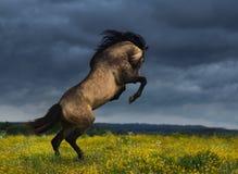 在草甸的纯血统安达卢西亚的马后方有剧烈的阴云密布的 免版税库存照片