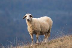 在草甸的绵羊蓝色背景的 库存图片