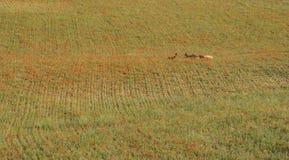 在草甸的罂粟种子花有山羊的在普罗旺斯 图库摄影