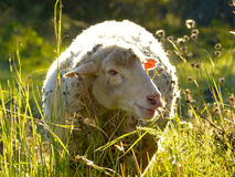 在草甸的羊毛制绵羊 图库摄影