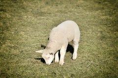 在草甸的羊羔 库存图片