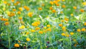 在草甸的美丽的充满活力的橙色花 免版税库存图片