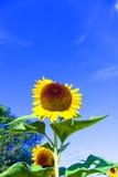 在草甸的美丽的开花的向日葵 图库摄影