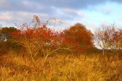 在草甸的美丽的红色莓果灌木 库存图片
