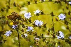 在草甸的美丽的蓝色花 库存照片