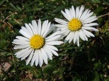 在草甸的美丽的雏菊,延命菊,花 免版税图库摄影