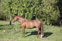 在草甸的美好的栗子短距离冲刺的马立场 免版税库存图片