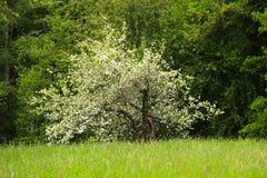 在草甸的苹果树 免版税库存图片
