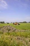 在草甸的荷兰母牛 库存照片