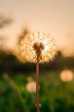在草甸的蒲公英阳光背景的 免版税库存图片
