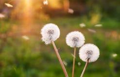 在草甸的蒲公英阳光背景的 库存照片