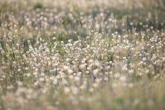 在草甸的蒲公英 库存图片