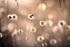 在草甸的蒲公英 图库摄影