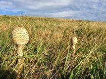 在草甸的蘑菇 库存照片