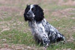 在草甸的西班牙猎狗 库存图片