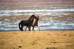 在草甸的赌博的冰岛马在冬天 库存照片
