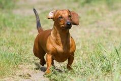在草甸的达克斯猎犬 库存照片