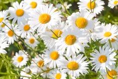 在草甸的野生春黄菊 免版税库存图片