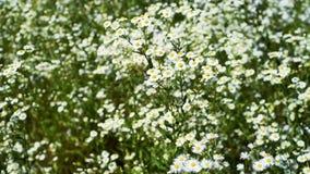 在草甸的野生雏菊夏天微风的 股票视频