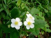 在草甸的野草莓花 库存图片