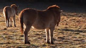 在草甸的野马 影视素材