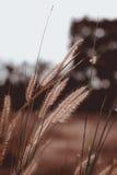 在草甸的金黄草日落的 库存照片