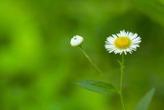 在草甸的雏菊 库存图片