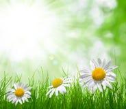 在草甸的雏菊 图库摄影