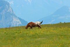 在草甸的马在瑞士阿尔卑斯 免版税库存照片
