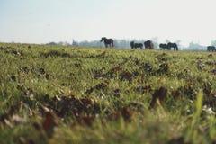 在草甸的马 奥克利,汉普郡 库存图片