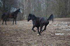 在草甸的马 免版税图库摄影