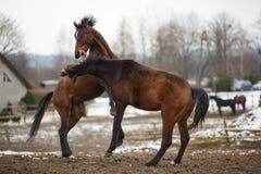 在草甸的马 免版税库存照片