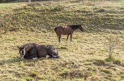 在草甸的马 库存图片