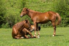 在草甸的马 库存照片