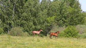 在草甸的马 影视素材