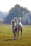 在草甸的骆驼在奥兰,瑞典 免版税图库摄影
