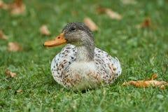 在草甸的鸭子 免版税库存照片