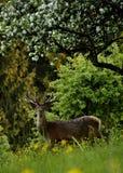 在草甸的鹿在一棵豪华的苹果树下 免版税图库摄影